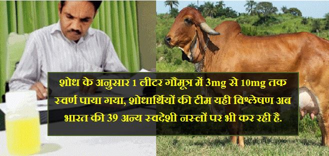 Junagadh Agricultural University scientists find gold in Gir cow urine