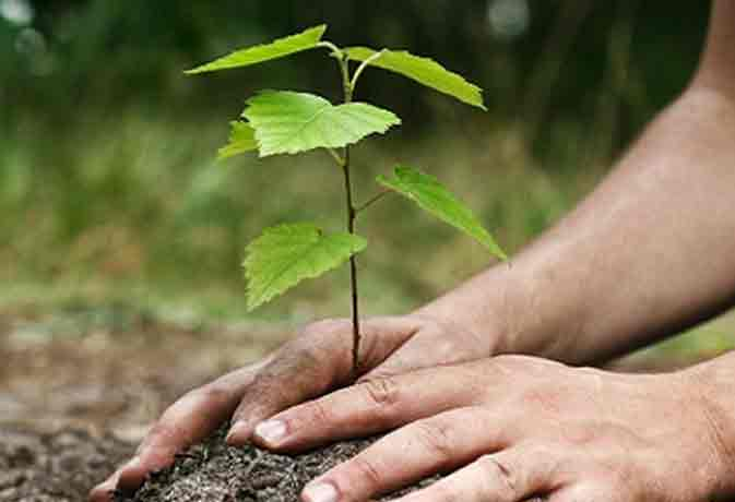 panacea sanjivani leaf