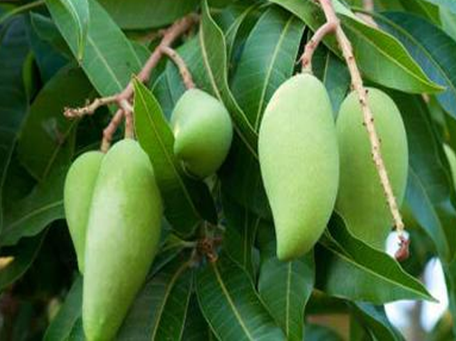 Importance and benefits of green mango in summer
