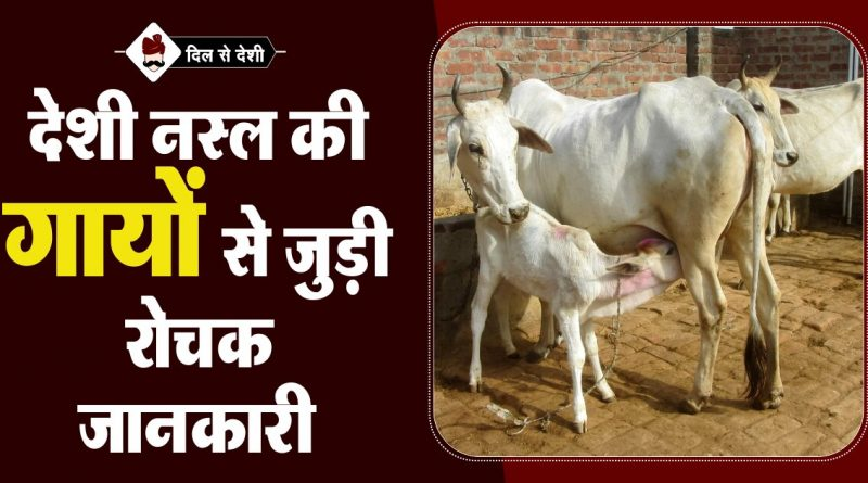 Indian Cow Breeds and Benefits in Hindi