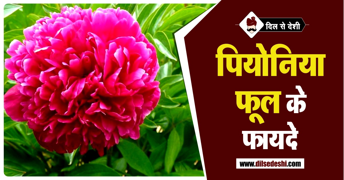 Benefits of Paeonia Flower in Hindi