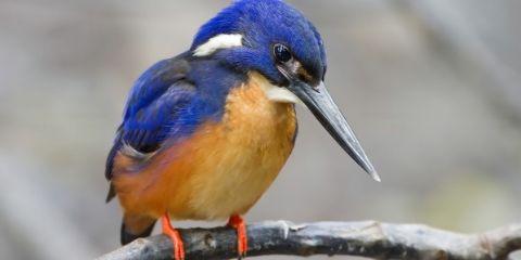Kingfisher Bird Name in Hindi and English