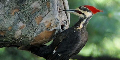 Woodpecker Bird Name in Hindi and English