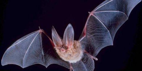 Bat Bird Name in Hindi and English