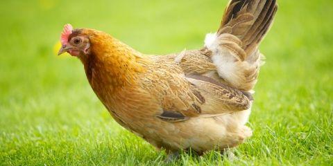 Hen Bird Name in Hindi and English