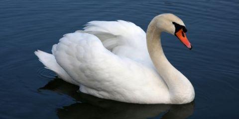 Swan Bird Name in Hindi and English